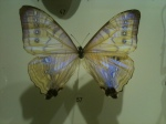 One of the incredible butterflies in the collection at the Jardin Botanique